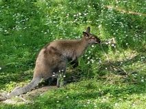 Wallaby di Austrailian Fotografia Stock
