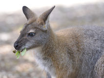 Wallaby di Bennet Immagine Stock Libera da Diritti