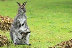 Wallaby di Bennett Fotografia Stock Libera da Diritti