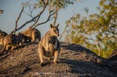 Wallaby di roccia Fotografia Stock Libera da Diritti