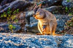 Wallaby di roccia Fotografia Stock