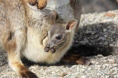 Wallaby di roccia di Mareeba o Petrogale Mareeba Fotografia Stock