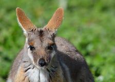 Wallaby di roccia footed giallo Fotografie Stock Libere da Diritti