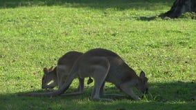 Wallaby die gras met een wallaby eten die door bij de achtergrond in Opdrachtstrand overgaan, Australië stock footage