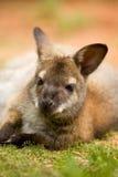 Wallaby die met rode hals op groen gras liggen Stock Afbeelding