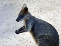 Wallaby do pântano Imagem de Stock