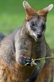 Wallaby do pântano (Wallabia bicolor) Fotos de Stock Royalty Free