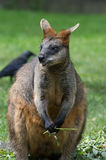 Wallaby do pântano (Wallabia bicolor) Imagem de Stock Royalty Free