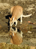 Wallaby drinking Royalty Free Stock Photo