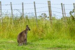Wallaby du ` s de Bennett dans la prairie à une ferme Image stock