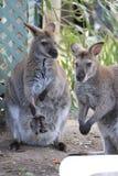 Wallaby e bambino Immagini Stock Libere da Diritti