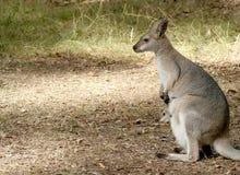 Wallaby e bambino Fotografie Stock