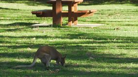 Wallaby eating in Cape Hillsborough national park, Queensland, Australia stock video footage