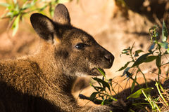 A wallaby eating green leaves in the sunlight Stock Images