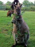 Wallaby eating leaves Stock Image
