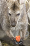 Wallaby en wortel Stock Foto