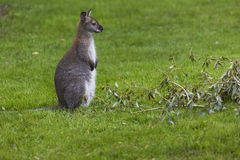 Wallaby on a Farm over green background. Royalty Free Stock Photography