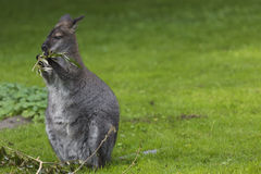 Wallaby on a Farm over green background. Stock Photography