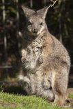 Wallaby. Fat furry little wallaby sitting in the sun Stock Photo