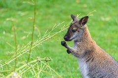 Wallaby Feeding Outdoors Royalty Free Stock Photography