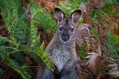Wallaby in the Ferns. This Bennett's Wallaby sits calmly in a sea of ferns in the Narawntapu National Park in northern Tasmania, Australia royalty free stock photos