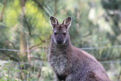 Wallaby. A wallaby in a forest Royalty Free Stock Image