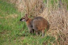 Wallaby frôlant à une ferme dans NSW, Australie Images stock