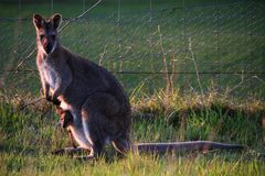 Wallaby and her little one at Mt Rouse Lookout, Penhurst, Victoria, Australia,. Mount Rouse is an extinct volcano that lies in the charming town of Penshurst royalty free stock image