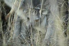 Wallaby in het droge gras op een landbouwbedrijf stock afbeeldingen