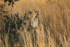Wallaby in het droge gras op een landbouwbedrijf royalty-vrije stock afbeelding