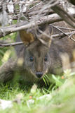 Wallaby hides under the branches to eat lunch, Australia. Wallaby hides under the branches to eat lunch. It has 3 blades of grass poking out of its mouth & is stock image