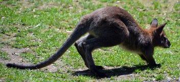Wallaby jest jakaś zwierzęcym należeniem rodzinny Macropodidae obraz stock