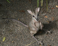 Wallaby Joey Royalty Free Stock Images