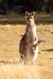 Wallaby with Joey Royalty Free Stock Photography