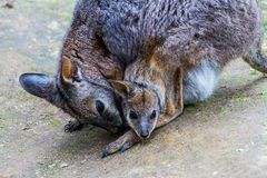 Wallaby with Joey in her pouch royalty free stock images