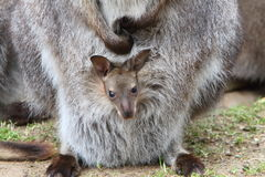 Wallaby joey Stock Images