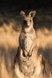 Wallaby joven Fotografía de archivo
