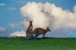 Wallaby. A wallaby jumping over the mother with the baby Royalty Free Stock Image