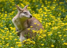 Wallaby kangaroo Royalty Free Stock Photos
