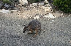 Wallaby @ Kangaroo Island Stock Photos