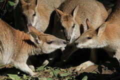 Wallaby-Konferenz Lizenzfreie Stockbilder
