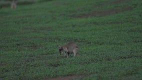 Wallaby in langzame motie in Opdrachtstrand, Australië stock videobeelden