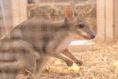 Wallaby lub Mini kangur obraz royalty free