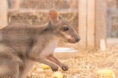 Wallaby lub Mini kangur fotografia royalty free