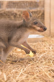 Wallaby lub Mini kangur obrazy royalty free