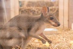 Wallaby lub Mini kangur zdjęcie stock