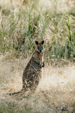 Wallaby Macropodidae Macropus royalty free stock photography