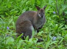 Wallaby - Macropus Стоковая Фотография