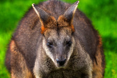 Wallaby Macropus agilus Stock Photo