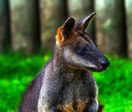 Wallaby Macropus agilus Looking Royalty Free Stock Photos